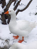 在多雪的风景的白色鹅 免版税库存图片
