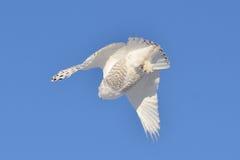 在多雪飞行的猫头鹰之下 免版税库存图片