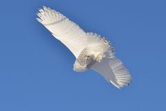 在多雪飞行的猫头鹰之下 免版税库存照片