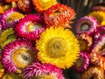 在多颜色花的翠菊 免版税库存照片