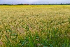 在多暴风雨的天气期间的绿色麦田在比利时海岸 免版税库存图片