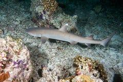 在夜下潜的白色技巧鲨鱼 免版税库存图片