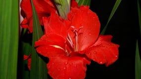 在夜关闭的红色剑兰花 免版税库存照片