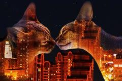 在夜城市背景,两次曝光的埃塞俄比亚猫 免版税库存照片