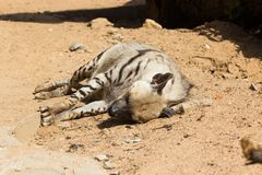 在夜狩猎以后的镶边鬣狗休息 免版税图库摄影