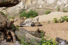 在夜狩猎以后的镶边鬣狗休息 库存照片