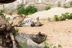 在夜狩猎以后的镶边鬣狗休息 免版税库存图片