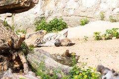 在夜狩猎以后的镶边鬣狗休息 图库摄影