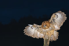 在夜猫头鹰类aluco的猫头鹰 库存照片