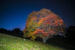 在夜空的大槭树亮光 库存图片