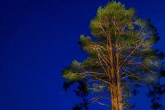 在夜空的树 免版税库存图片