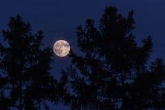 在夜空的满月在两棵杉木之间 免版税库存图片