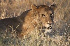 在夜间星期日的预警狮子 库存照片