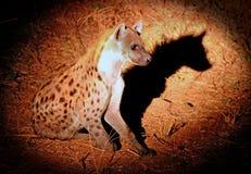在夜间赛驱动看见的被察觉的鬣狗,与一个好剪影 免版税库存图片