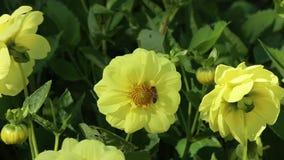 在大丽花一朵黄色花的欧洲蜂蜜蜂Apis mellifera  股票录像