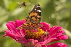 在大丽花的被绘的夫人蝴蝶和蜂蜜蜂开花 免版税图库摄影