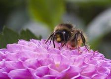 在大丽花绒球的蜂 免版税图库摄影
