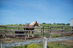 在大农场的布朗马白色鬃毛 免版税图库摄影