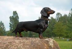 在大冰砾石头的达克斯猎犬 免版税图库摄影