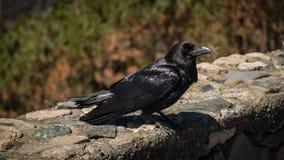 在大加那利岛海岛上的乌鸦  免版税库存照片