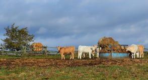 在大包饲养者的夏洛来牛牛 库存图片