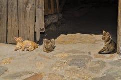 在大卵石的猫 图库摄影