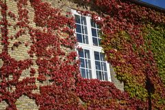 在大厦的常春藤藤在哥本哈根 库存照片
