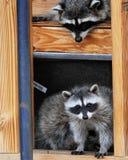 在大厦的浣熊 免版税库存照片
