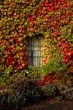 在大厦的边的秋天常春藤 库存照片