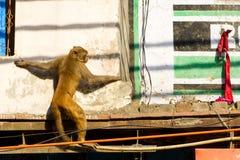 在大厦的猴子在德里,印度 库存图片