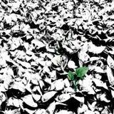 在大反差黑白叶子中的绿色pothos植物 免版税库存照片