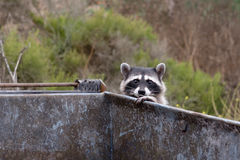 在大型垃圾桶的浣熊 库存图片