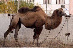 在大城市街道上的布朗骆驼有背景od大厦和graffity的 库存照片