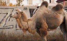 在大城市街道上的布朗骆驼有背景od大厦和graffity的 库存图片