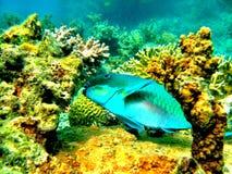 在大堡礁昆士兰澳大利亚的鹦鹉鱼 免版税库存照片