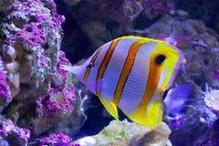 在大堡礁的钩形的Coralfish游泳 库存照片