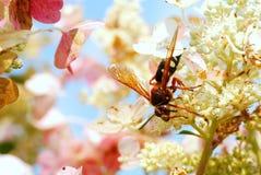 在大学显示庭院的一个巨型大黄蜂在维罗纳,威斯康辛 免版税库存照片