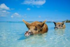 在大少校Cay的野生,游泳的猪在巴哈马 免版税图库摄影