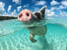 在大少校Cay的野生,游泳的猪在巴哈马 库存照片