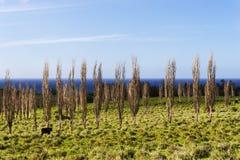 在大岛夏威夷的母牛,吃草在树中 库存照片