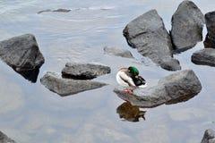 在大岩石的鸭子在河 库存照片