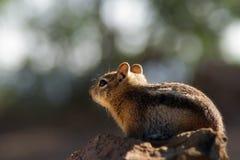 在大峡谷北部外缘的灰鼠 库存图片