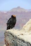 在大峡谷国家公园的加州秃鹰 免版税库存照片