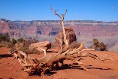在大峡谷烘干被连根拔的树 免版税库存图片