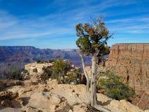 在大峡谷的外缘的杜松树 免版税库存照片