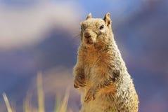 在大峡谷的好奇灰鼠 库存图片