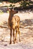在大峡谷的小的小鹿 免版税库存图片