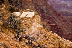 在大峡谷的山坡的干燥断枝 免版税库存照片