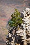 在大峡谷的岩石壁架的树 免版税库存照片