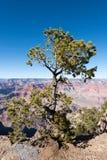 在大峡谷的常青树 免版税库存照片